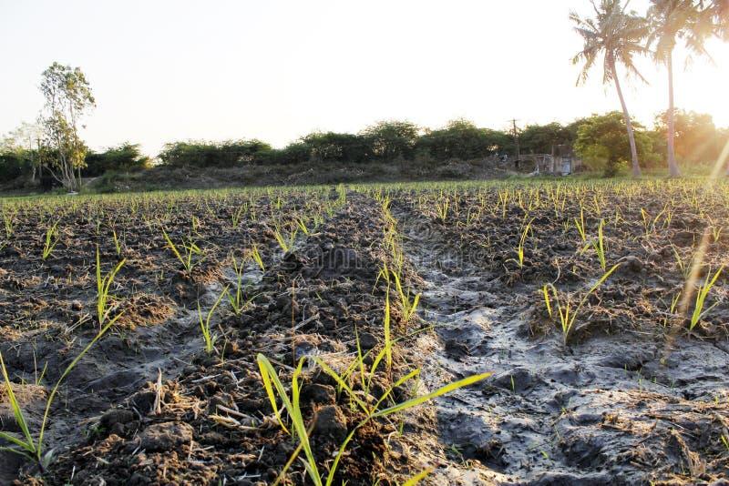 Étape haute cultivée aux champs de canne à sucre images libres de droits