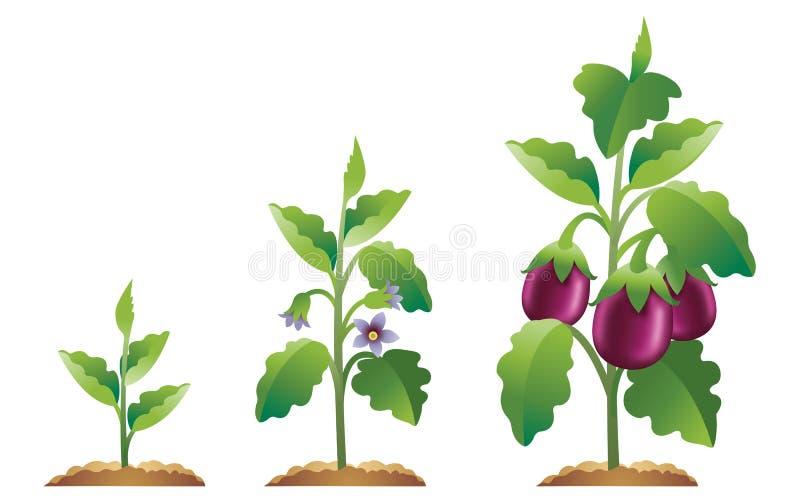 Étapes d'accroissement d'aubergine illustration stock