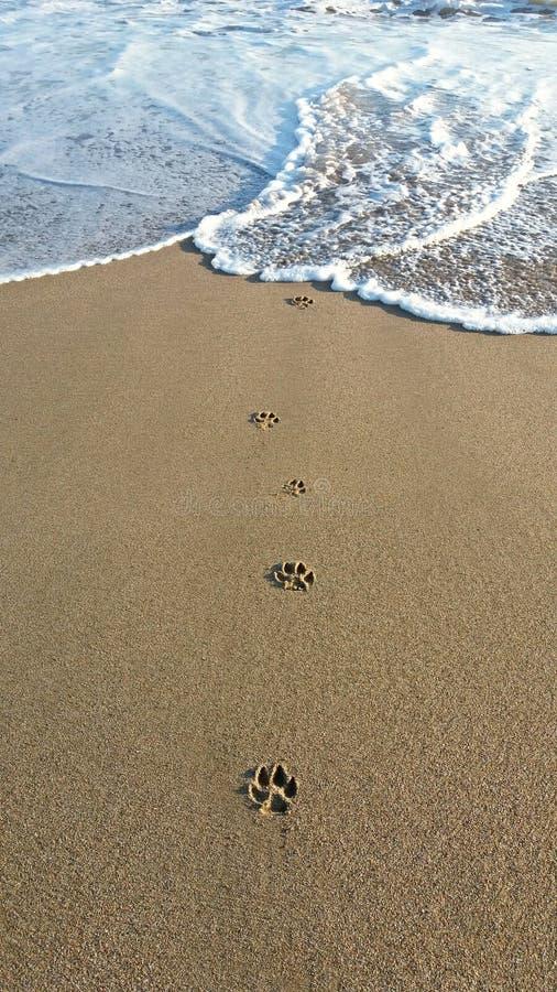 Étapes de chien dans le sable photos stock