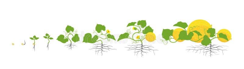 Étapes de croissance d'usine de melon Illustration de vecteur Melo de Cucumis Cycle de vie de cantaloup de melon Sur le fond blan illustration stock