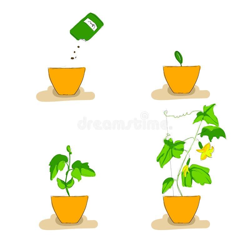 Étapes de croissance des jeunes plantes de concombre illustration libre de droits