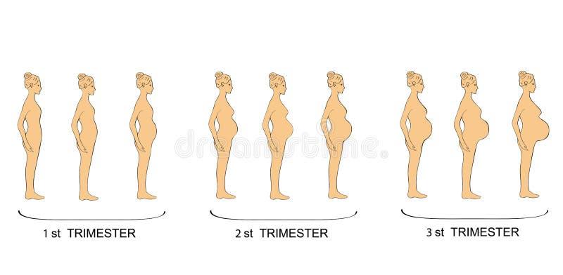 Étapes de trimestre de femmes de grossesse Illustration de vecteur illustration stock