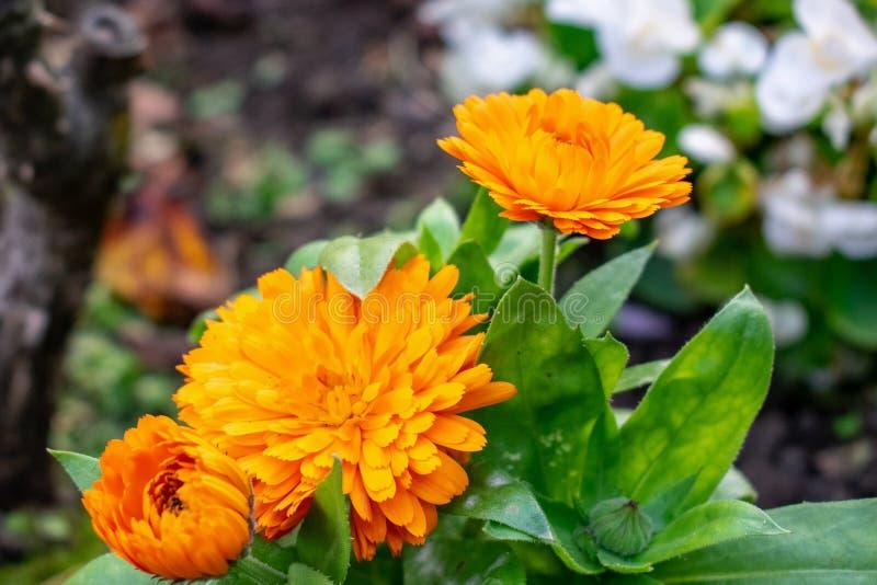 Étapes des fleurs jaune-orange photo libre de droits