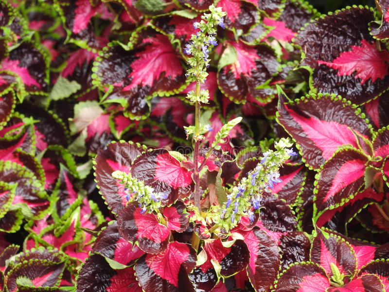 Étendue des fleurs pourpres photo libre de droits