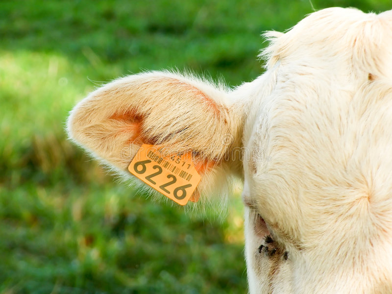 Étiquette sur l'oreille d'une vache photos stock