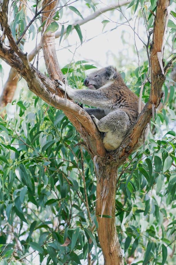Étirage de l'ours de koala dans l'arbre d'eucalyptus images libres de droits