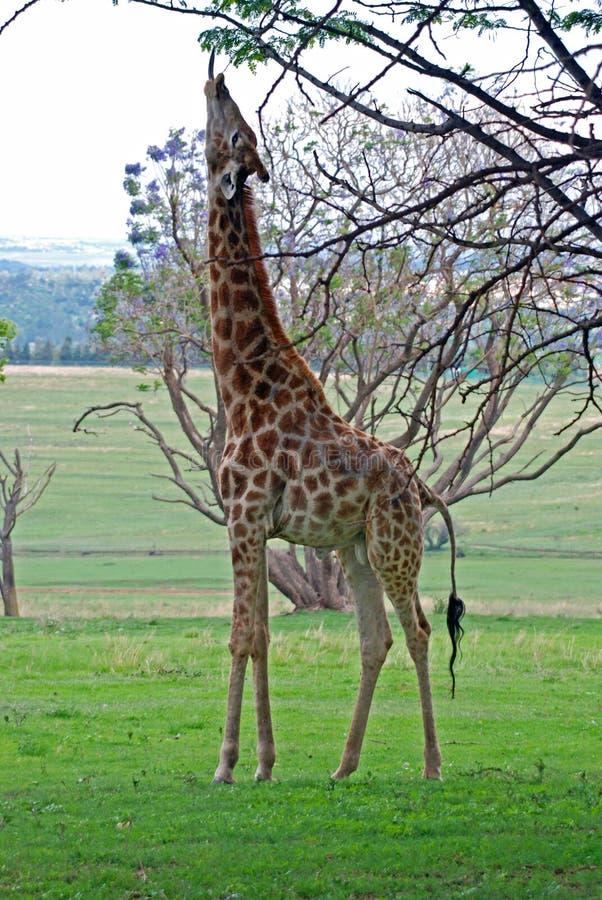 Étirage de la giraffe images stock