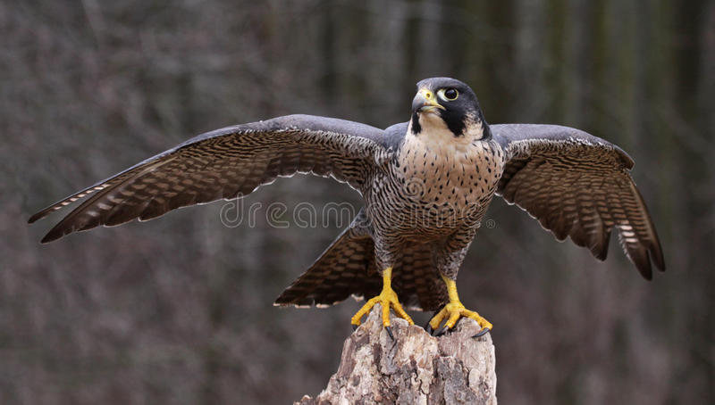 Étirage de Peregrine Falcon photographie stock libre de droits