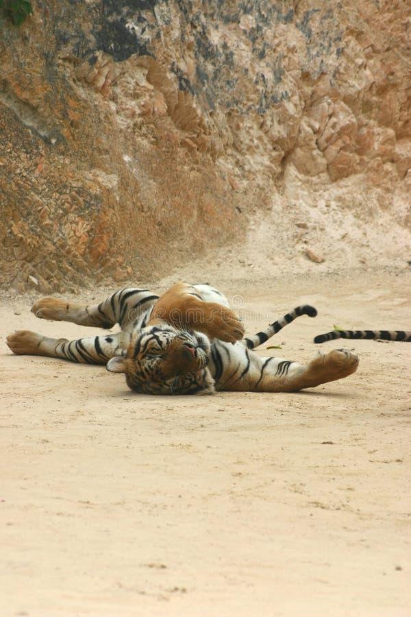 Étirage de tigre image stock