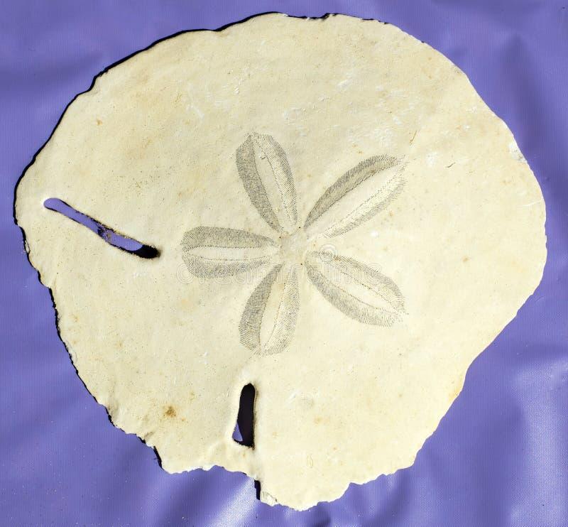 Étoile centrale d'un échinoderme échinoïde de ` de sable de ` très grand du dollar d'île de Masirah, Oman, l'Océan Indien photographie stock libre de droits