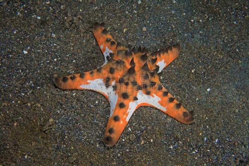 Étoile de mer à cornes images stock