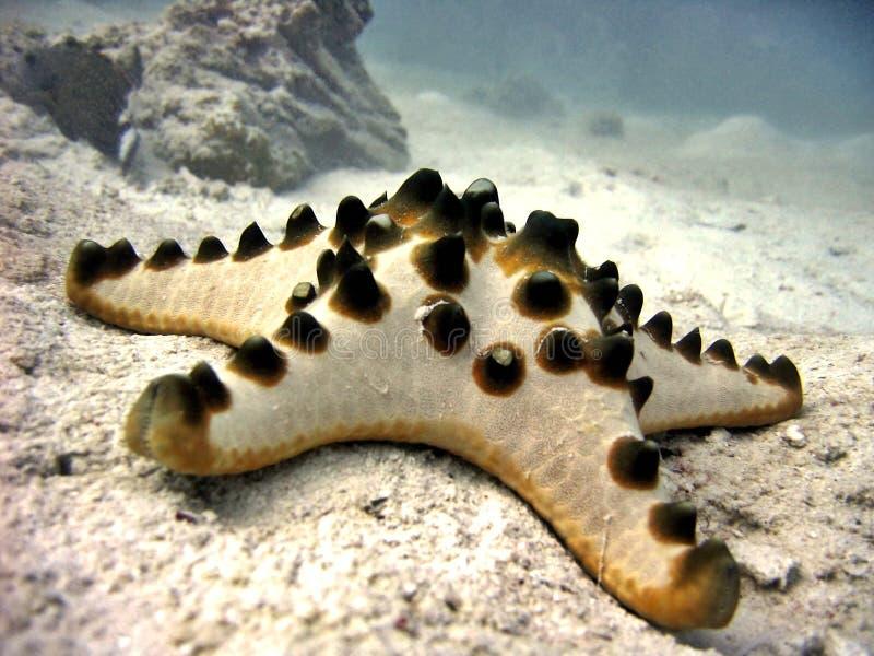 Étoile de mer à cornes photos stock