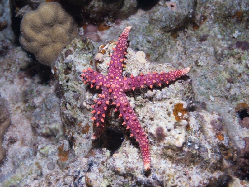 Étoile de mer grise d'egyptiaca de Gomophia d'étoiles de mer sur un cor photographie stock