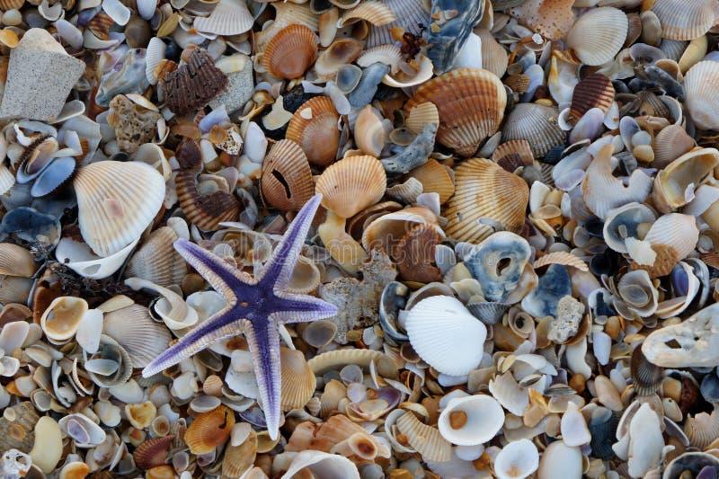 Étoile de mer royale ou étoiles de mer pourpres image libre de droits
