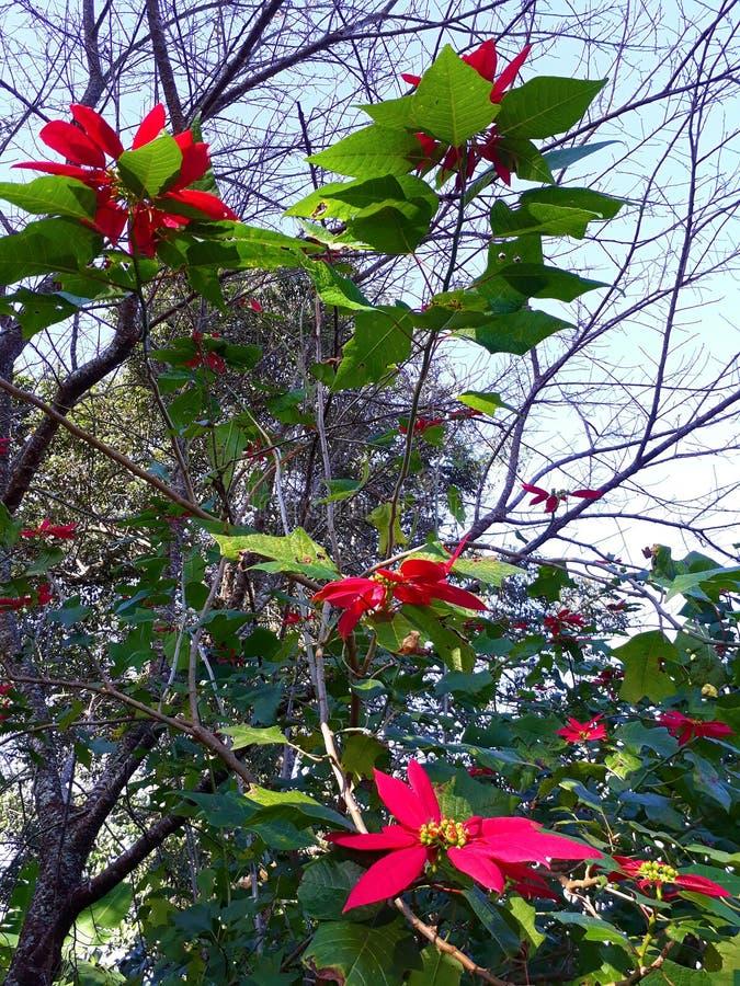 Étoile ou Poinesettia de Noël photographie stock libre de droits