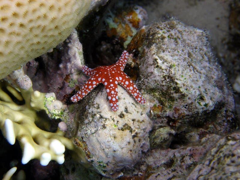 étoile rouge de récif de poissons de corail image libre de droits