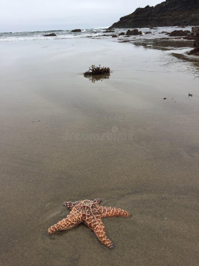 Étoiles de mer à la côte de l'Orégon image stock