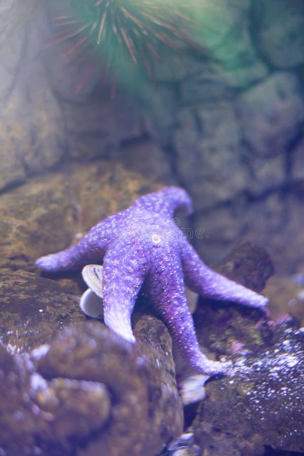 Étoiles de mer bleues au fond de l'océan images libres de droits
