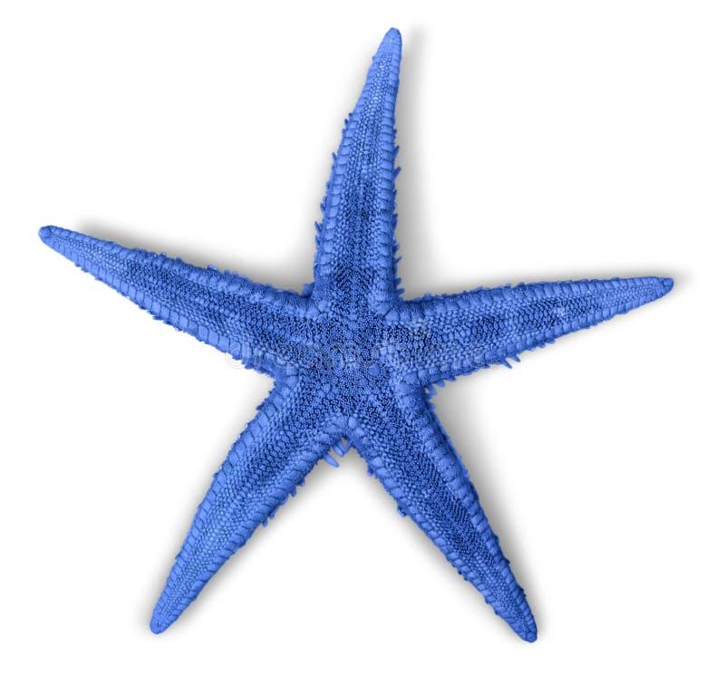 Étoiles de mer bleues d'isolement sur le fond blanc photos libres de droits
