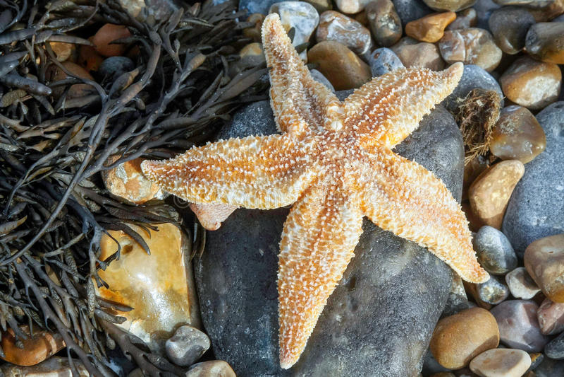 Étoiles de mer communes (Asterias Rubens) lavées à terre photo stock