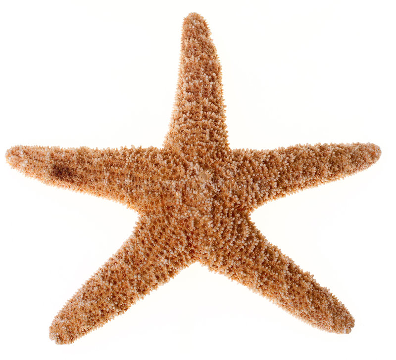 Étoiles de mer d'isolement images stock