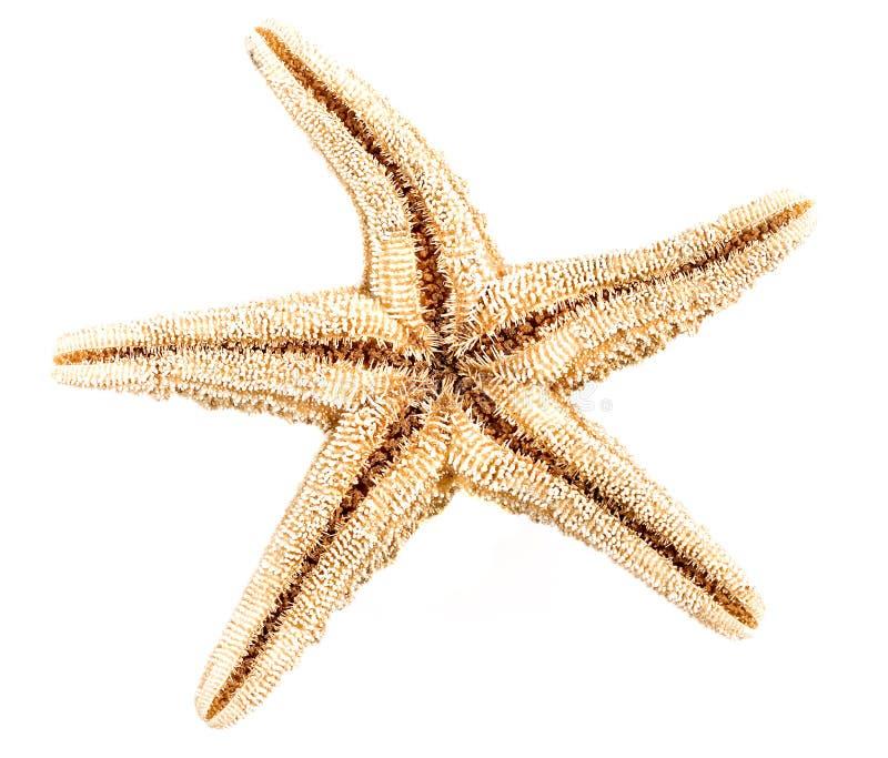 Étoiles de mer d'isolement image stock