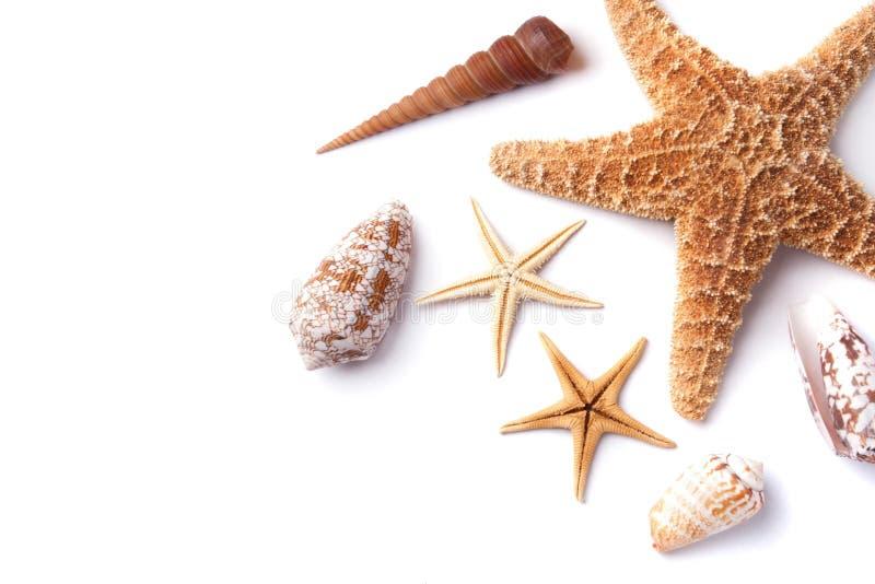 Étoiles de mer d'isolement sur le fond blanc images libres de droits