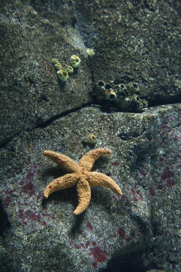 Étoiles de mer dans l'aquarium à Lisbonne, Espagne. image stock