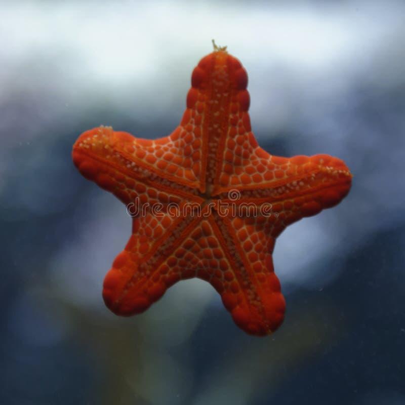 Étoiles de mer dans l'aquarium photographie stock