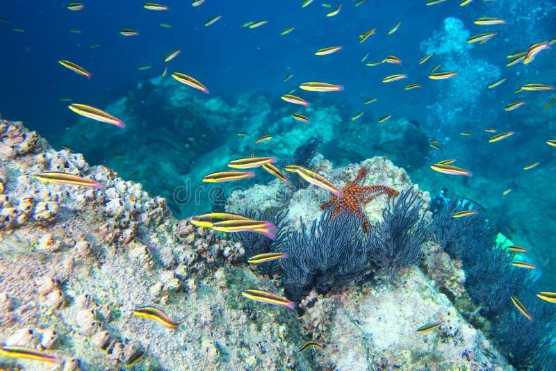 Étoiles de mer dans un paysage sous-marin coloré de récif photographie stock libre de droits