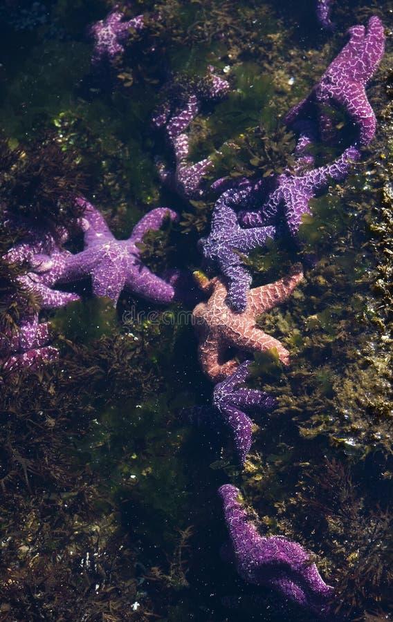 Étoiles de mer dans un regroupement de marée images stock