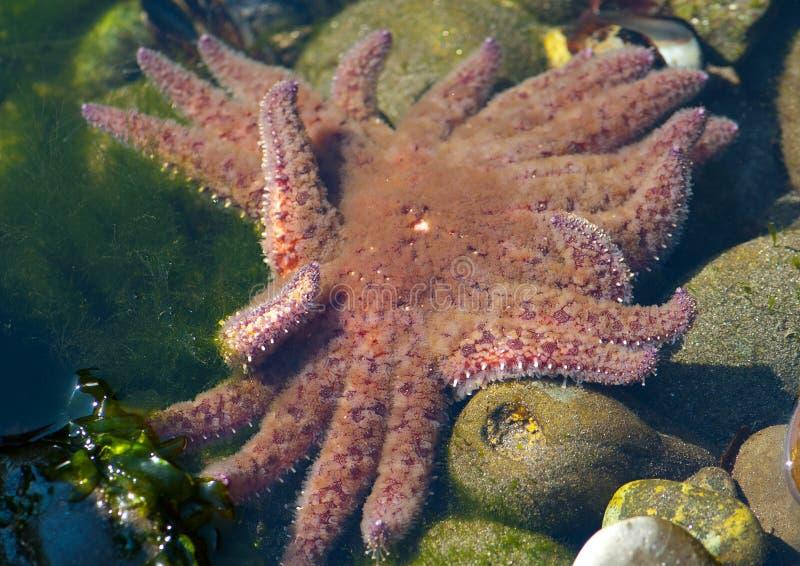 Étoiles de mer de tournesol photographie stock
