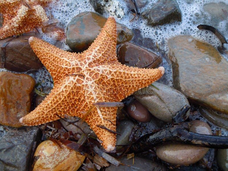 Étoiles de mer effacées sur des cailloux de plage image libre de droits