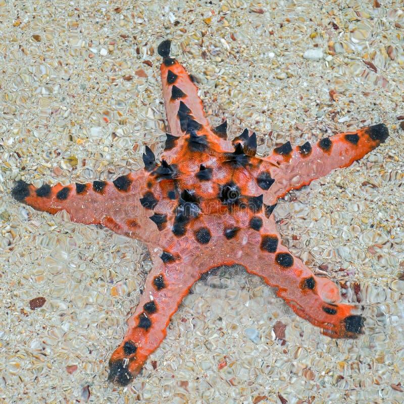 Étoiles de mer en eau de mer sur une plage sablonneuse Palawa photo stock