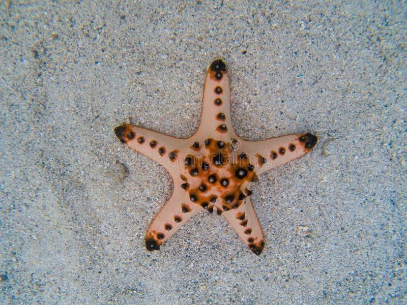 Étoiles de mer naturelles sur le sable blanc en eau de mer Eau de mer tropicale pendant la marée basse Animal sous-marin de bord  photos libres de droits
