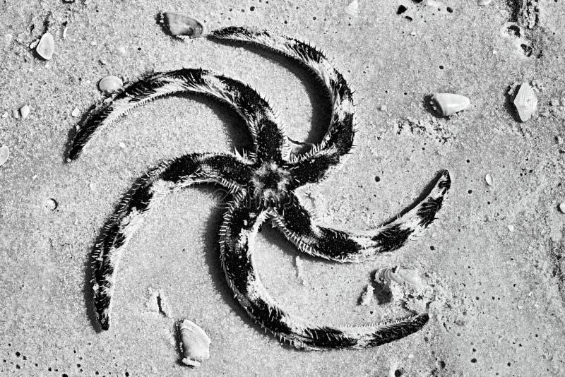 Étoiles de mer noires et blanches photographie stock libre de droits