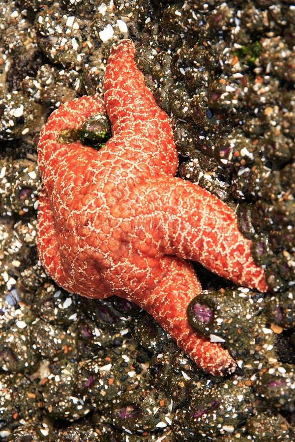 Étoiles de mer oranges photos libres de droits