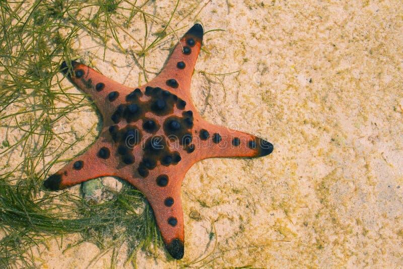 Étoiles de mer oranges d'oreiller sur le sable blanc en eau de mer Eau de mer peu profonde pendant la marée basse images libres de droits
