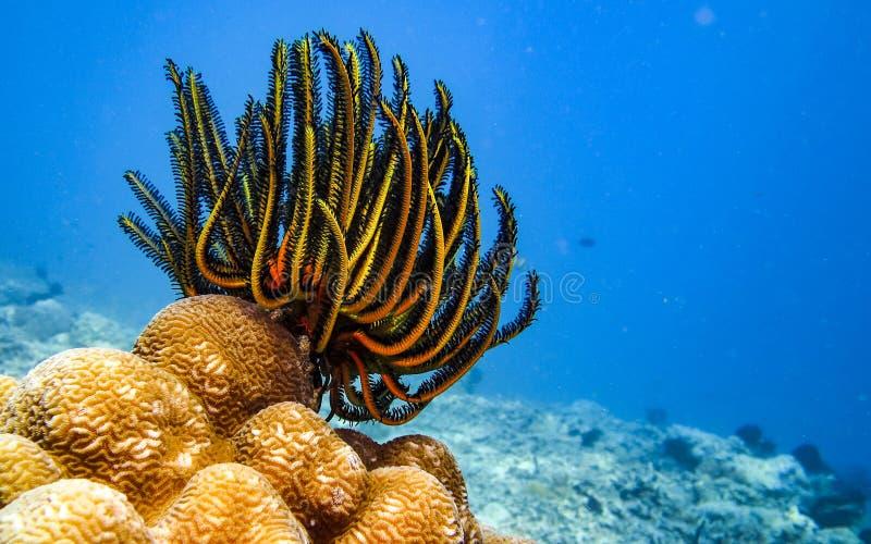 Étoiles de mer de plume photographie stock libre de droits