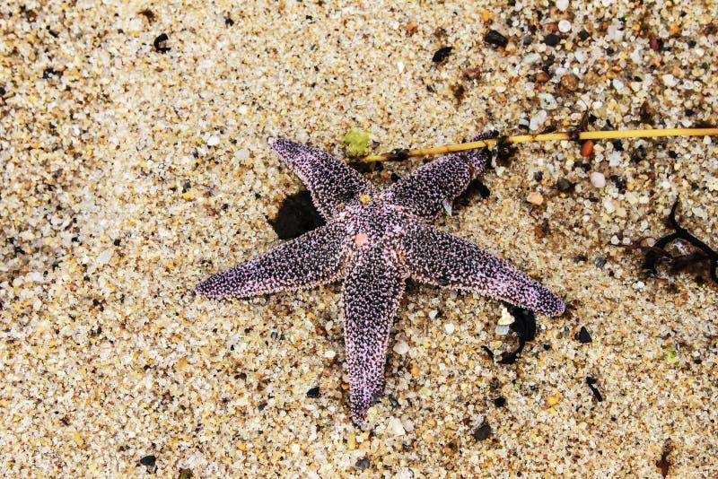 étoiles de mer Rose-pourpres lavées sur la plage - mensonge de plan rapproché du sable en cristal coloré photos stock