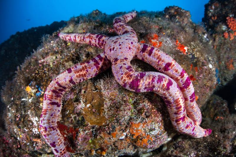 Étoiles de mer roses dans l'océan pacifique images stock