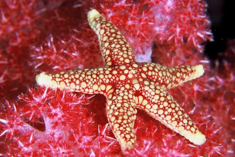 Étoiles de mer rouges photo libre de droits