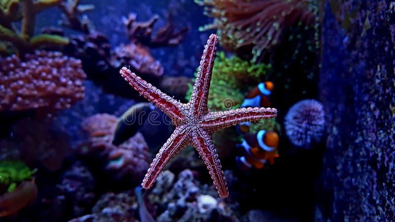 Étoiles de mer rouges d'élégance de Fromia dans l'aquarium marin photos libres de droits