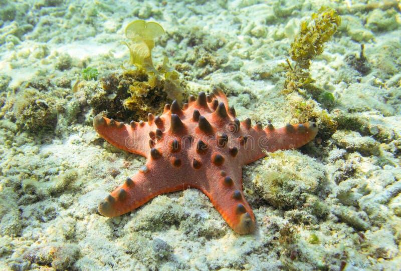 Étoiles de mer rouges sur le fond marin Étoiles de mer d'oreiller sur le sable blanc en eau de mer photo stock