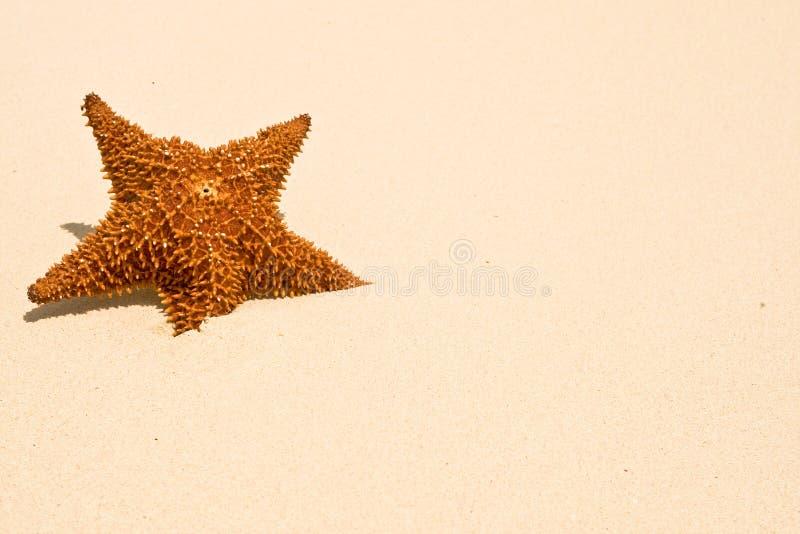 Étoiles de mer rouges sur une plage de sable photos libres de droits