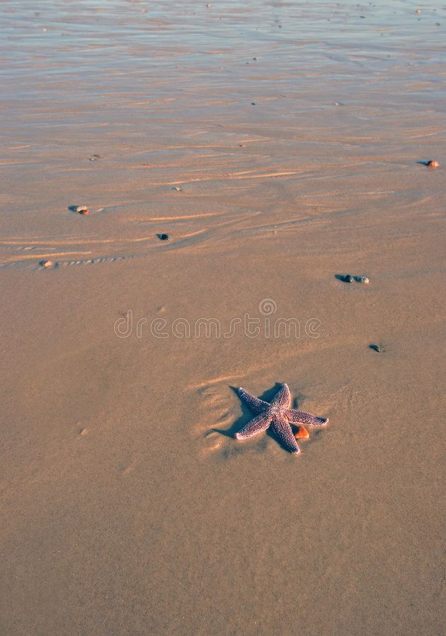 Étoiles de mer seules photo stock