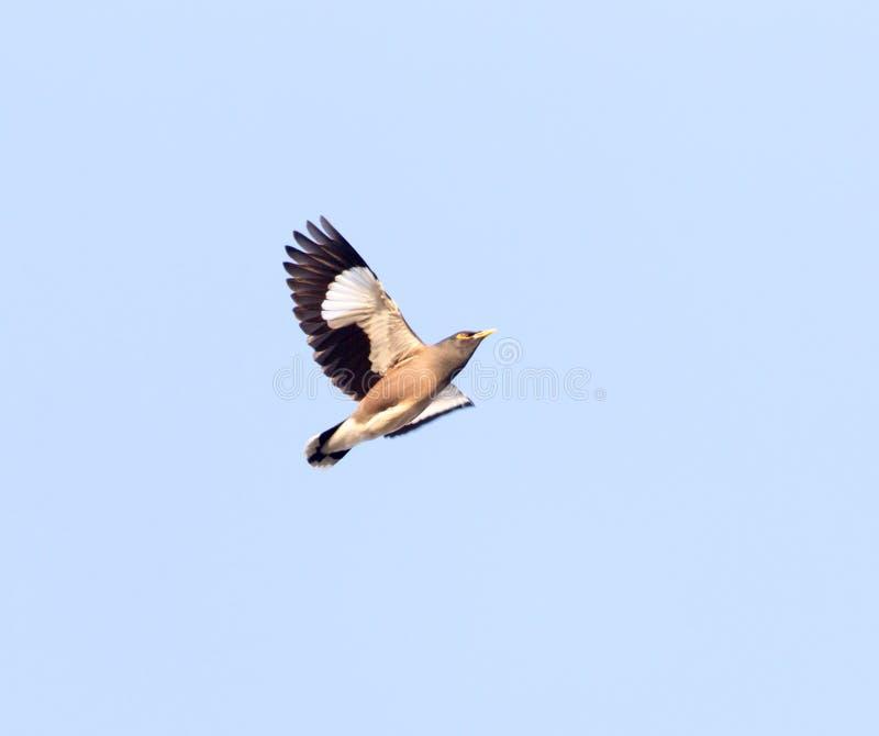 Étourneau en vol contre le ciel bleu photographie stock