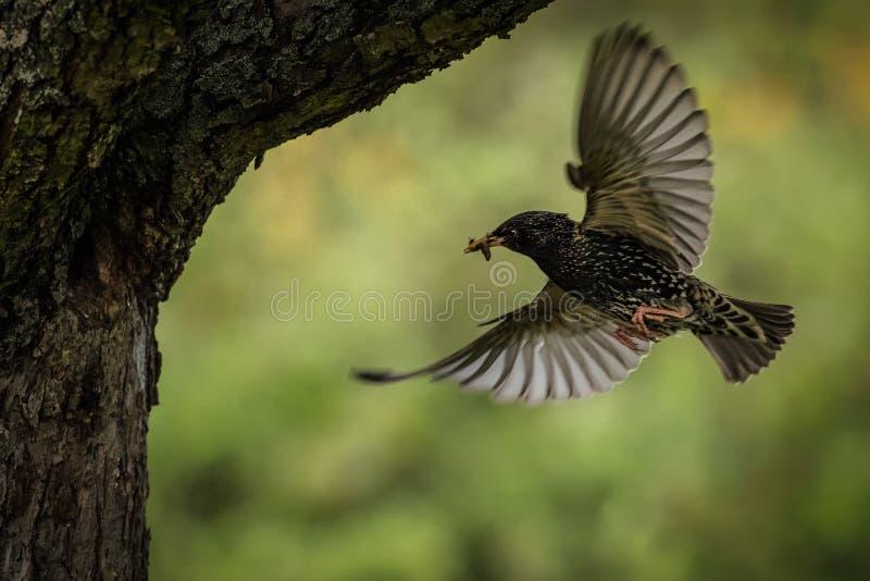 Étourneau européen - Sturnus vulgaris alimentant ses poussins dans le trou de nid images stock