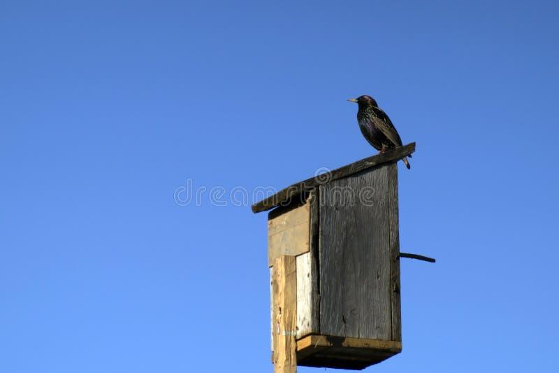 Étourneau noir d'oiseau migrateur se reposant sur une volière en bois faite maison photos stock