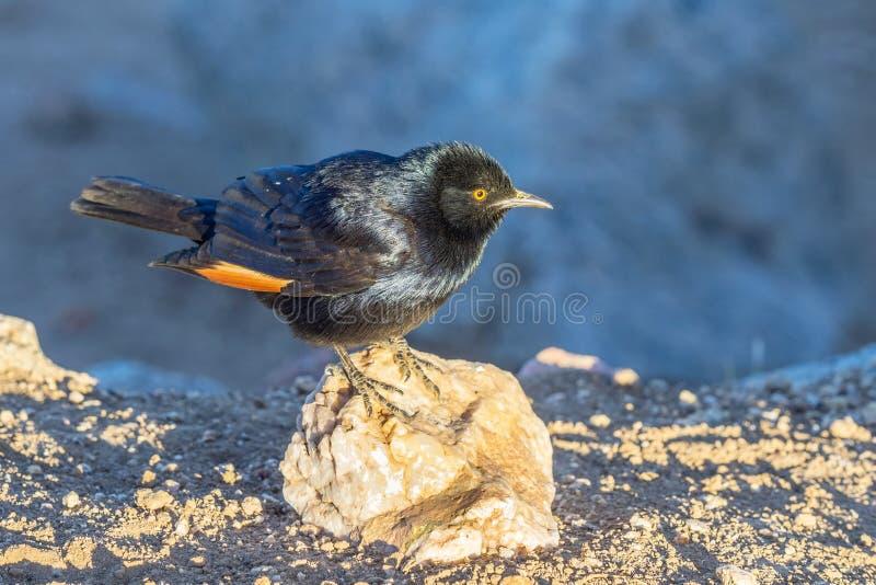 Étourneau Pâle-à ailes par Africain images stock
